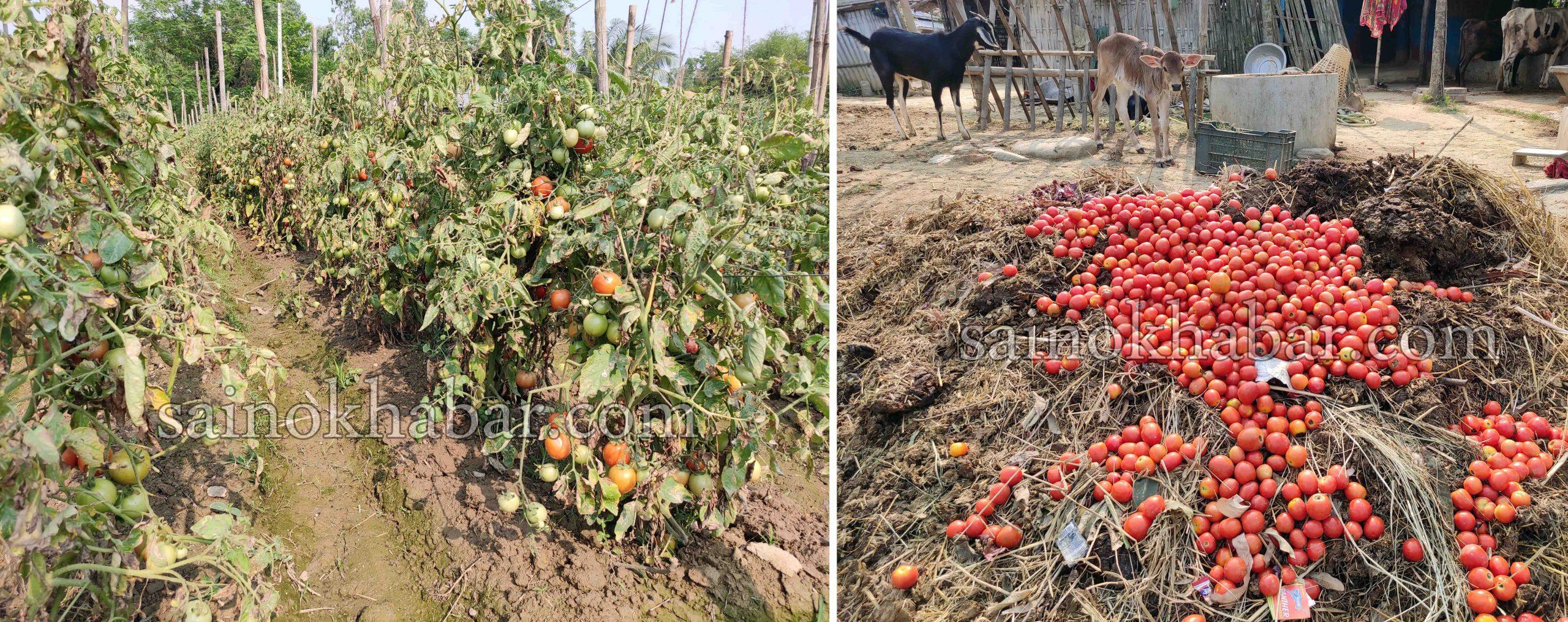 लकडाउनले बारीमै कुहियो टमाटर, मलखाडीमा फाल्न बाध्य किसानहरू